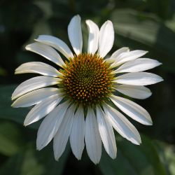 Picture of the flower of a white Echinacea (Coneflower)