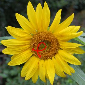 Picture of a sunflower illustrating the spiral rows of the florets